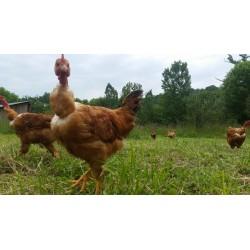 Poulet fermier et poularde